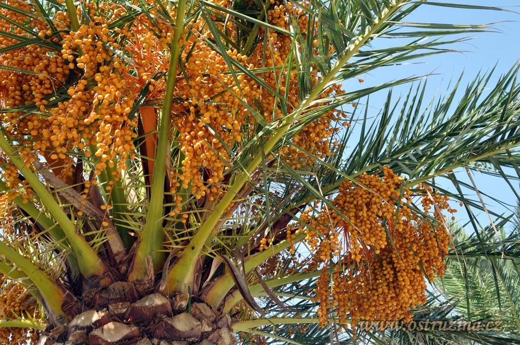 Igrane palma