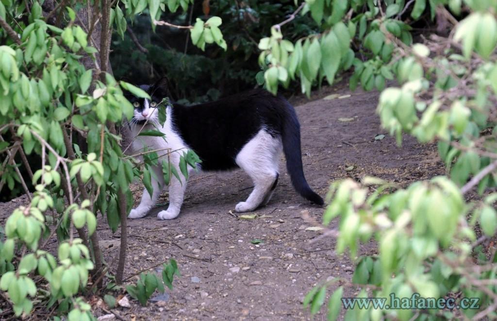 kočka-domácí-1