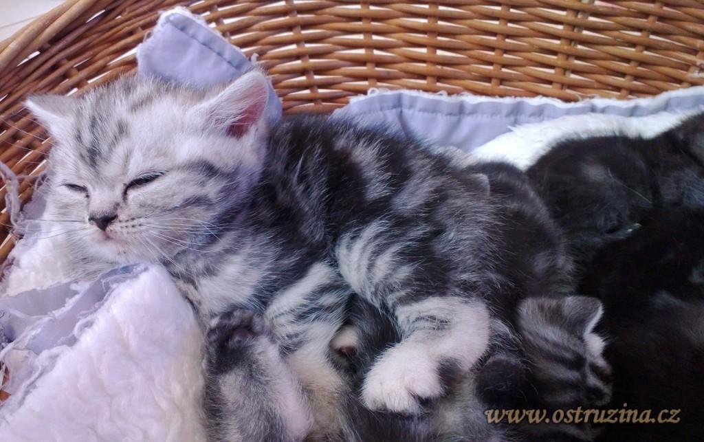 kocour britská modrá whiskas