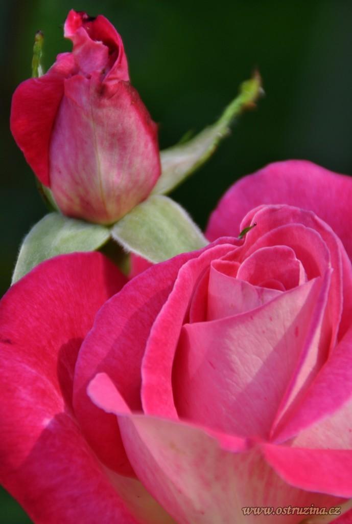 stará růže